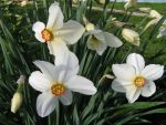 Нарцисс гибридный - Narcissus hybridus, hort.