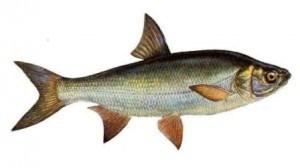 Рыба жерех: фото, особенности и ловля разными способами