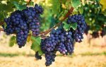 Немного о винограде...
